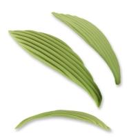 Blätter, lang